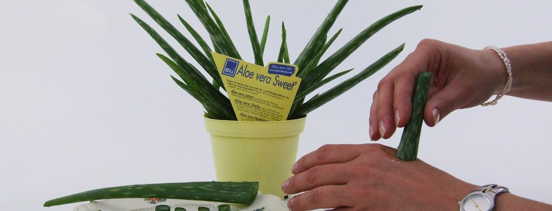 eigene-aloe-vera-pflanze