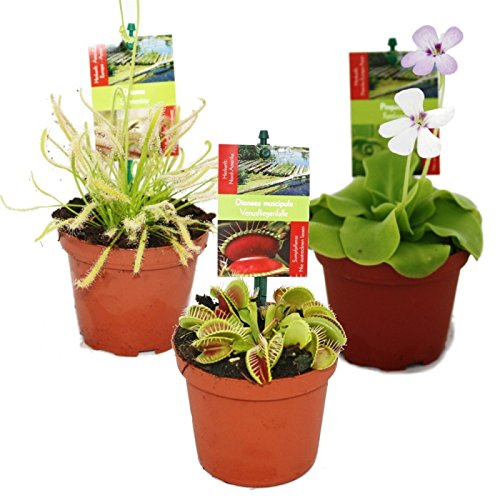 3er set fleisch fressender pflanzen die tollsten for Zimmerpflanzen versand